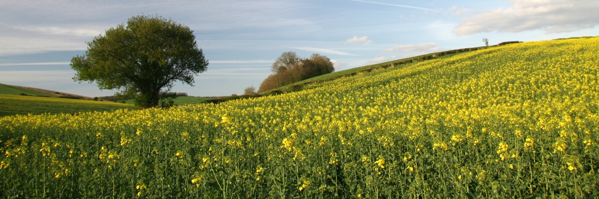 Downs and rapeseed field
